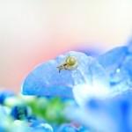 紫陽花とかたつむり